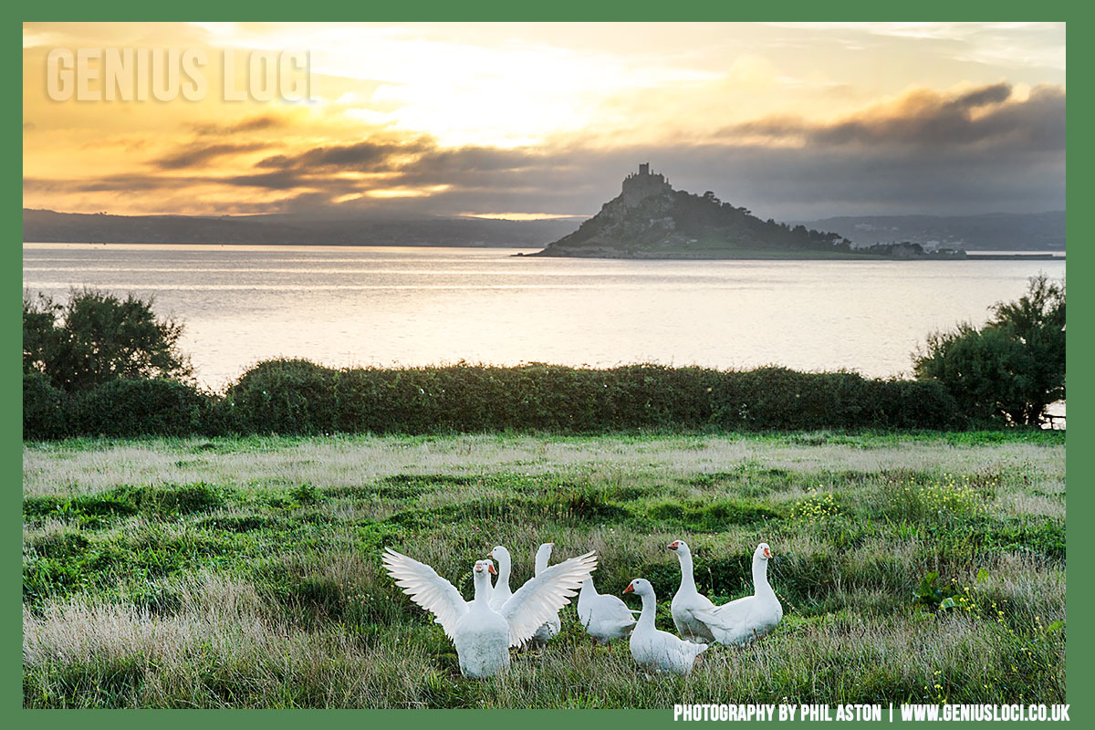 Geese in front of St Michaels Mount